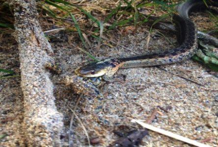 Des serpents dans la Manicouagan
