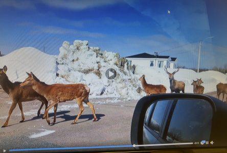 Des cerfs rouges se baladent à Pointe-Lebel