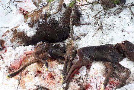 Carcasses d'orignaux sur la ZEC de Forestville : aucune accusation portée