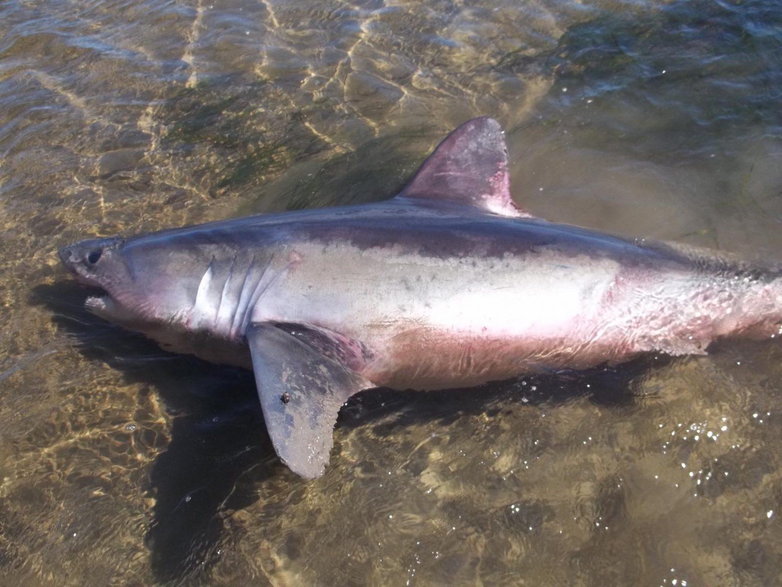 Un requin maraîche s'échoue sur une batture