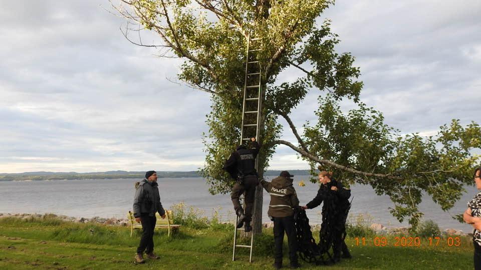 Deux oursons nichés dans un arbre à Pointe-Lebel